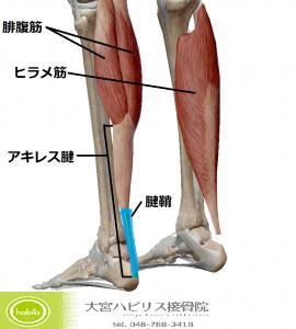 下腿三頭筋の構造